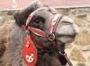 Královský velbloud